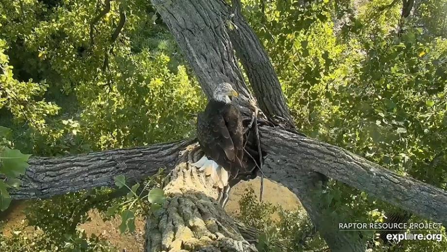 Mladý orel staví hnízdo