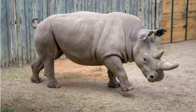 Odvážné úsilí o záchranu nosorožce severního