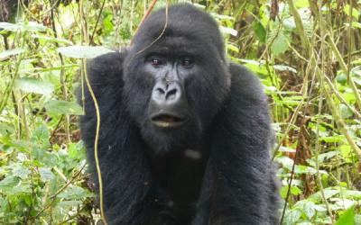 Gorilas - corredor forestal, GRACE Center, Kasuga