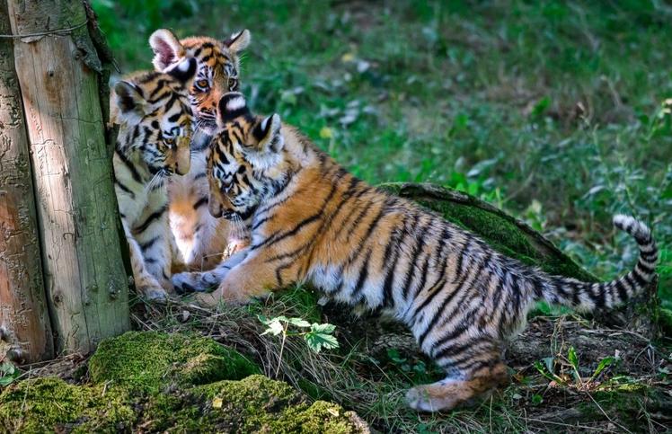 Malí tygříci ve zlínské ZOO už mají jména