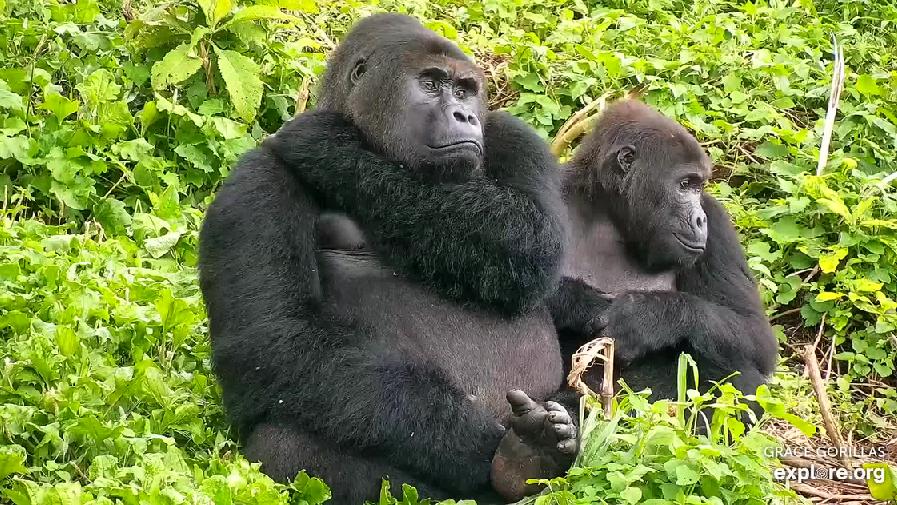 Gorily východní v záchranném centru v Demokratické republice Kongo