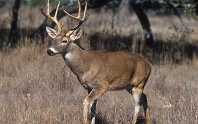Cremlino della fauna selvatica nel Texas del Nord