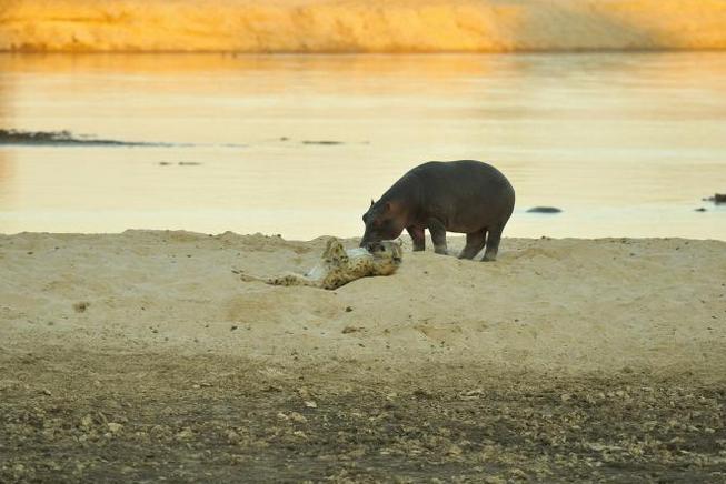 Vzácné setkání hrocha a hyeny