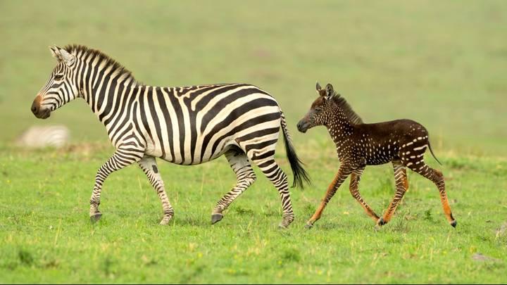 skvrnitá zebra 2019