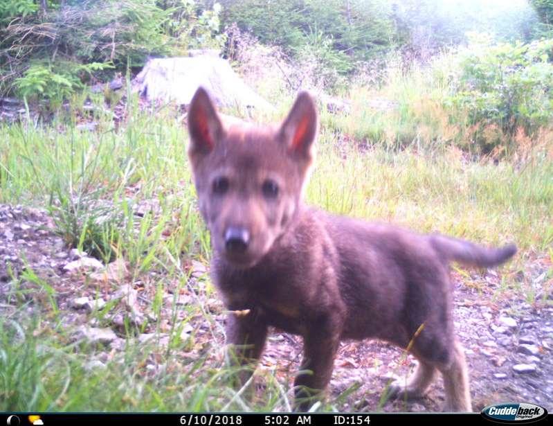 Los lobos en la zona fronteriza de Broumovsko este año por cuarta vez trajeron crías. El paquete está haciendo aquí.