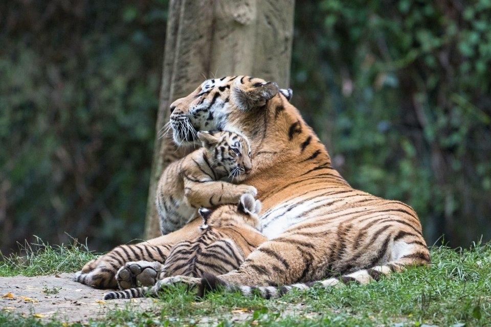 Tři malí tygříci jsou už venku ve zlínské ZOO
