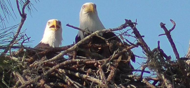Pár orlů bělohlavých Harriet a M15 navzájem upevňují pouto a brání území před nezvanými návštěvníky.
