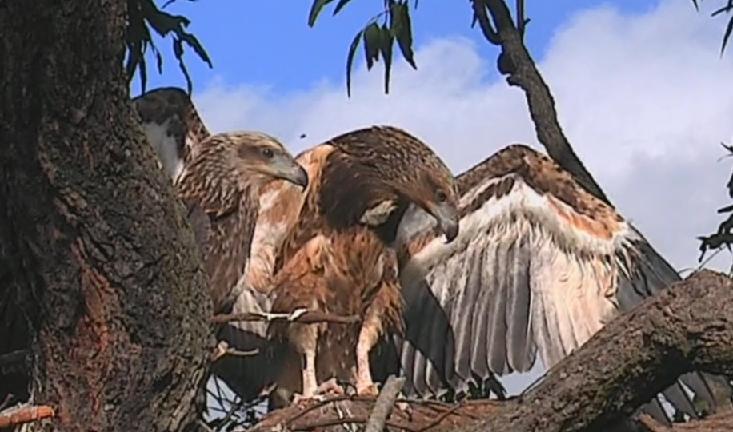Mladý orel bělobřichý SE24 uskutečnil první let! Po návratu na hnízdo a útoku straky spadl z větve, kde se na zemi statečně bránil lišce, která kroužila kolem.