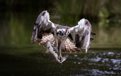 Águila pescadora - Port Lincoln, Australia del Sur