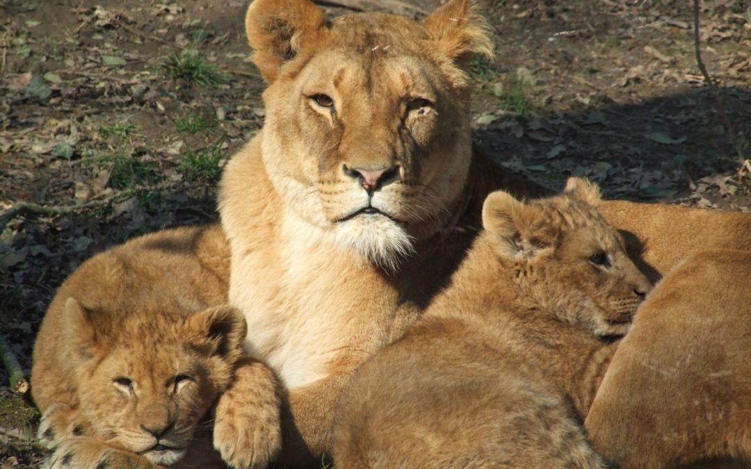 Lvi ve výběhu zvířecího parku Port Lympne