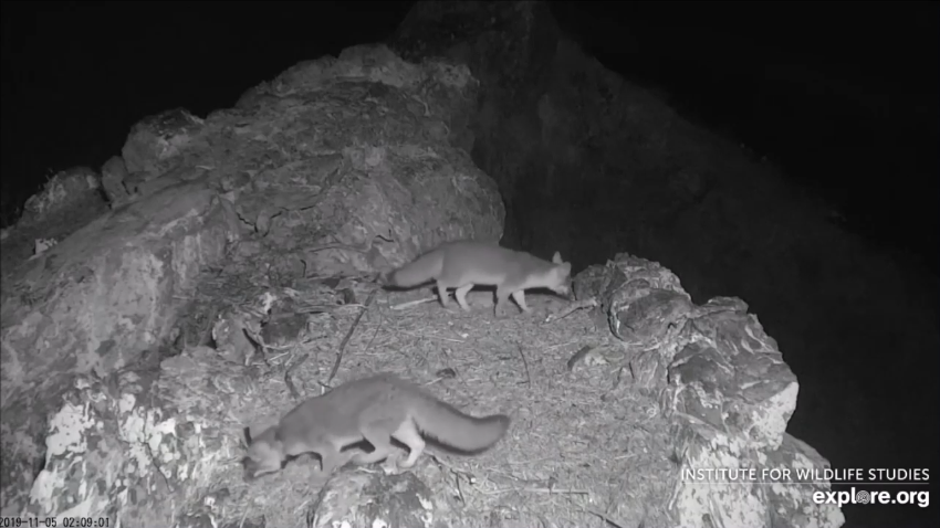 Island foxes on an eagle's nest - video clips