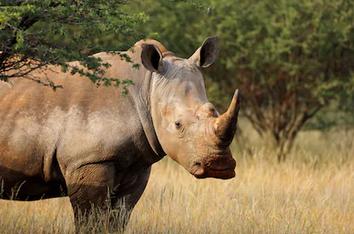 V Malajsii uhynul poslední nosorožec sumaterský. Poslední samice nosorožce v zemi Iman zemřela na rakovinu, informovali malajští představitelé.