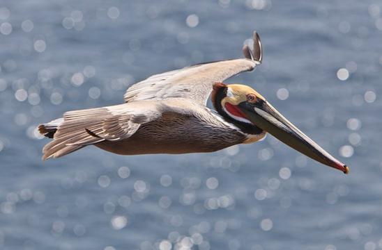 Pelikán hnědý v Kalifornii – Informační přehled