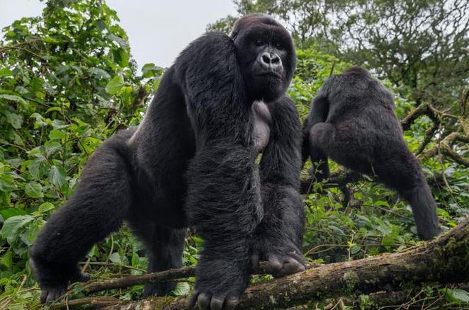 Co je potřeba k ochraně goril před Ebolou