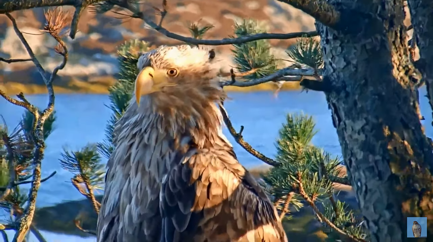 Nová samička v hnízdě orlů mořských na ostrově Smøla v Norsku. Co se stalo s původní samičkou?