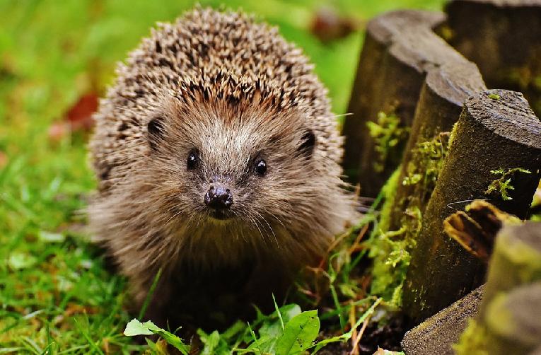 Vytvořte na zahradě ježkům dokonalý zimní úkryt