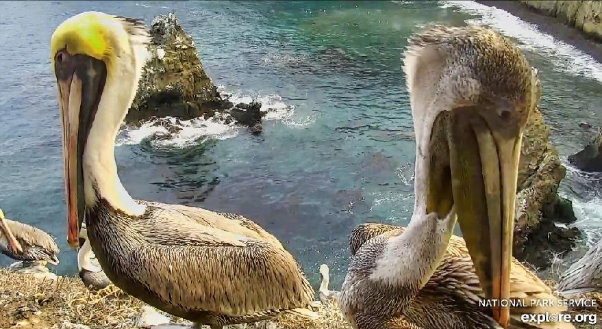Pelikáni na ostrově Anacapa  – videozáznamy