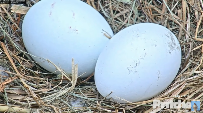 Dvě vajíčka v hnízdě orlů bělohlavých na Floridě Harriet a M15 – videozáznamy z hnízda
