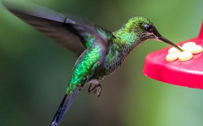 Kolibřík – pítka v Kalifornii