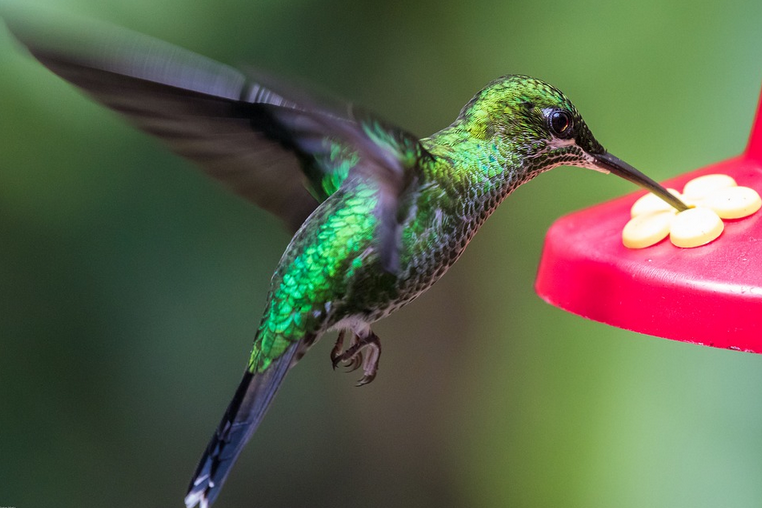 Hummingbird - Drinking fountains in California