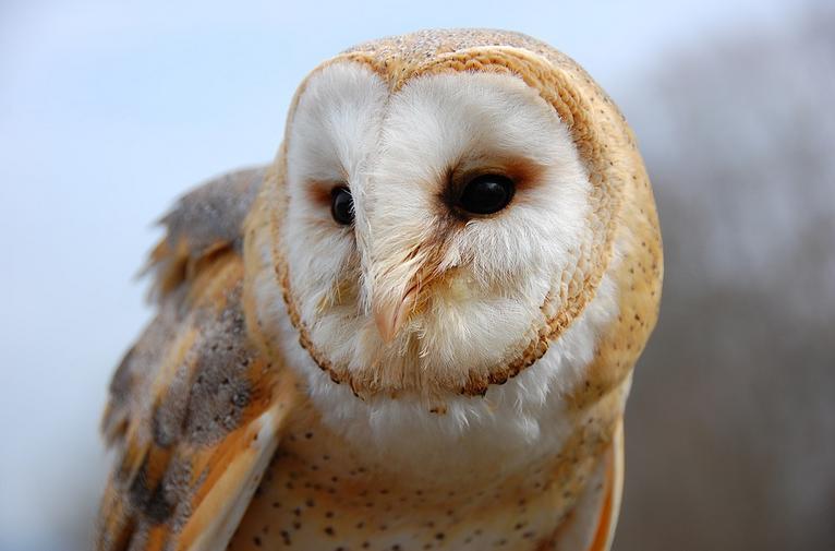 Barn Owl MRWMD