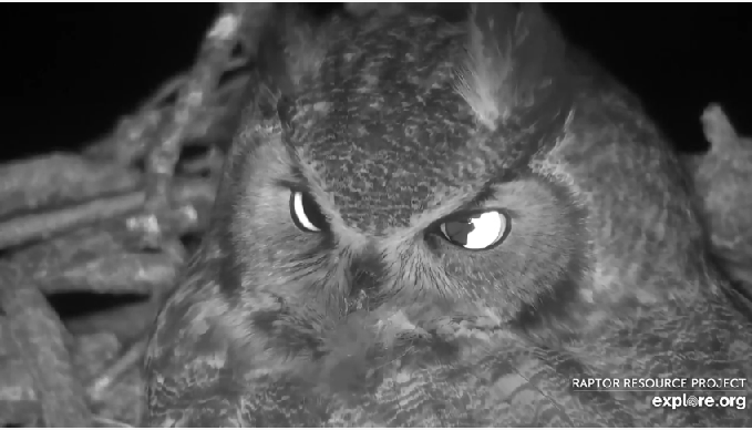 Great Horned Owl on the Nest of Bald Eagles in Decorah North - Footage