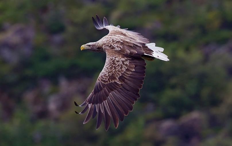 Populace orlů mořských se v jižních Čechách rozrůstá.
