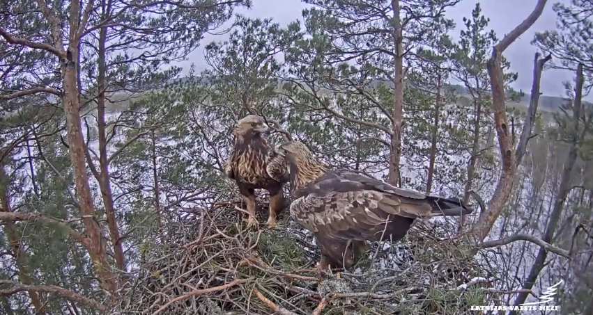 A pair of rock eagles on a nest in Latvia - video footage