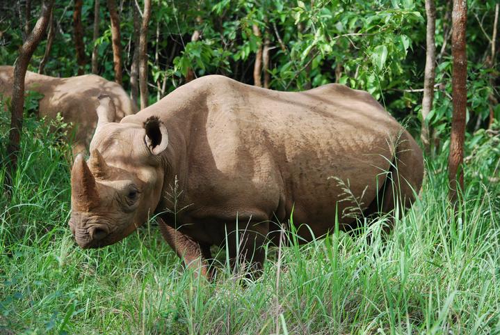 První nosorožci ze Dvora Králové byli ve Rwandě vypuštěni do volné přírody