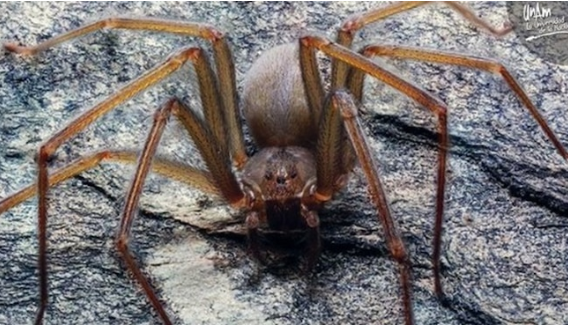 Scientists have discovered a new species of poisonous spider