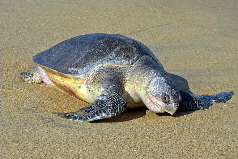 Stovky tisíc mořských želv Karet zelenavých připlouvá každý rok na pláž Ostional v Kostarice – jejich budoucnost však může ohrozit rozvoj a cestovní ruch.