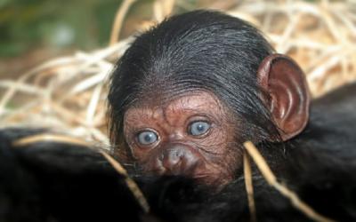 Prvním přírůstkem roku 2020 je v plzeňské zoo mládě šimpanze učenlivého.