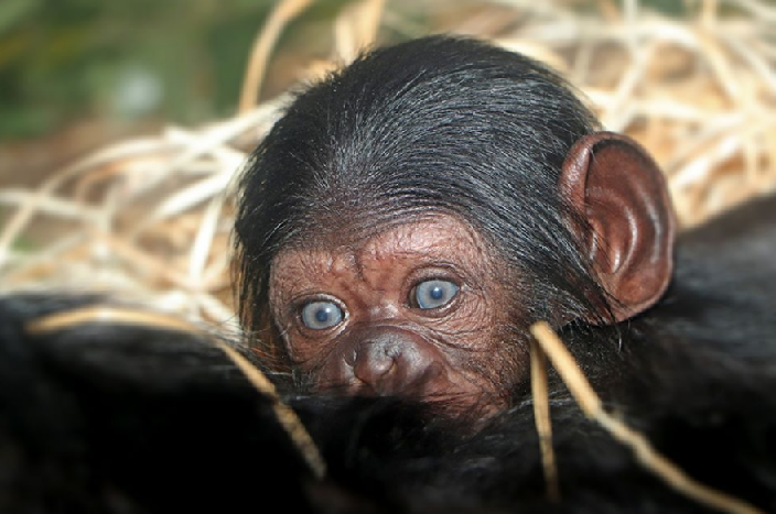 The first addition to 2020 is the Pilsen Zoo chimpanzee docile.