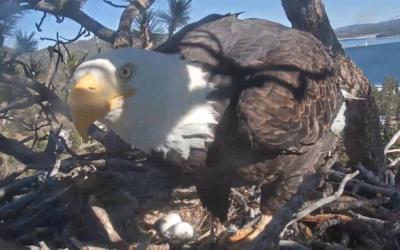 V hnízdě orlů bělohlavých Big Berar Valley samička Jackie položila druhé vajíčko