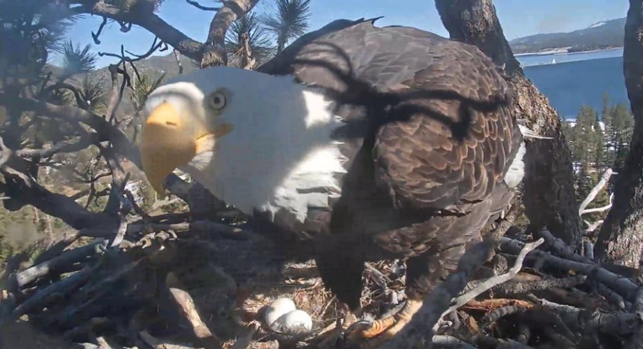 In the nest of Bald Eagles in the Big Berar Valley, female Jackie laid a second egg