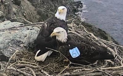 Nový sameček na hnízdě West End – videozáznamy