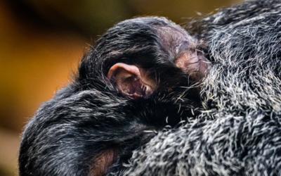 Mládě chvostana bělolícího ve zlínské Zoo po prvních pár týdnech života dobře prospívá
