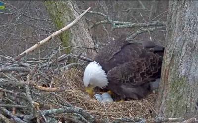 V hnízdě u jezera Dale Hollow pár orlů bělohlavých inkubuje tři vajíčka