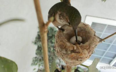 V hnízdě kolibříků se vyklubalo první mládě – hnízdění 2020