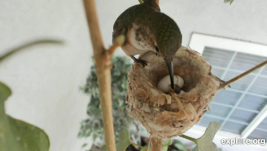 The nest of hummingbirds turned out to be the first chick - nesting 2020
