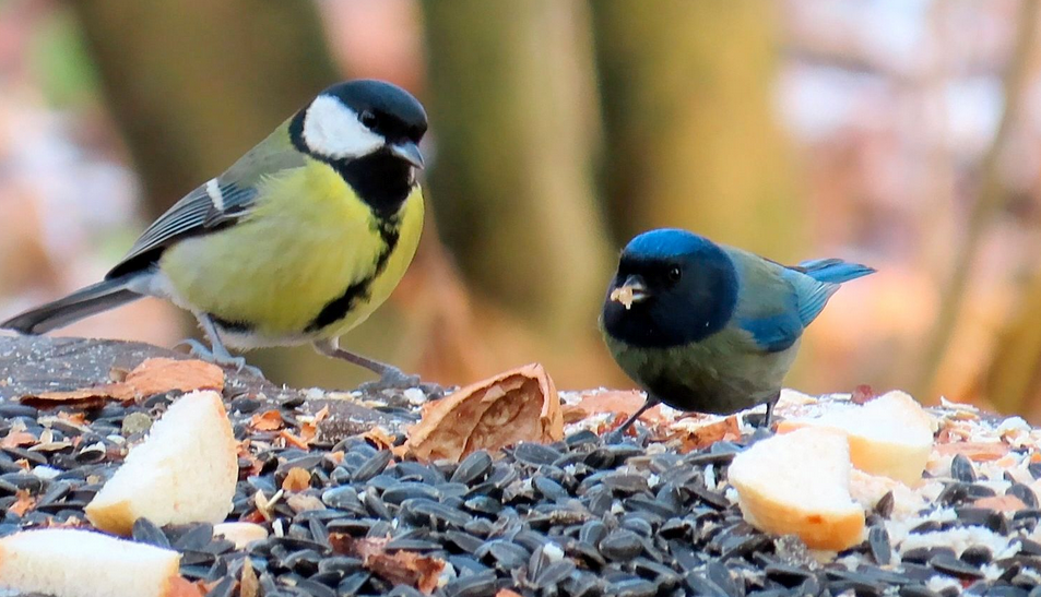 A blue tit with melanism appeared on the feeder in Přerov