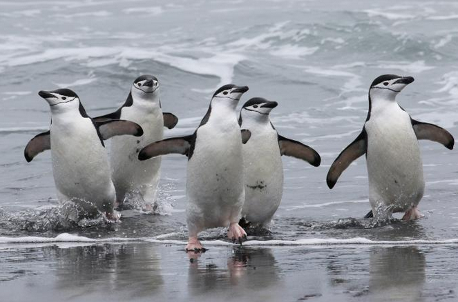 The number of Chinstrap Penguins may fall by more than half on the Antarctic island