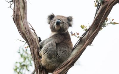Koala medvídkovitý v přírodní rezervaci Lone Pine