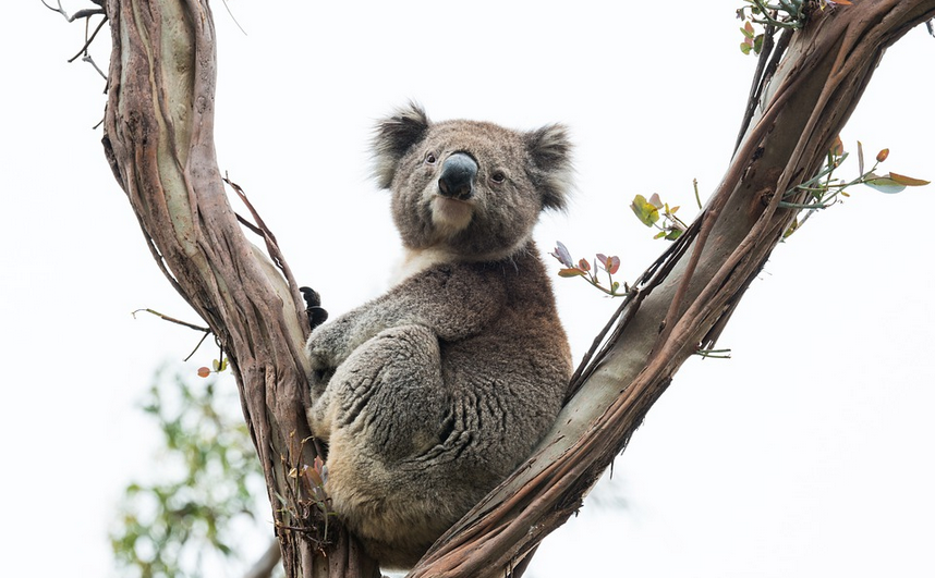 Koala bear in Lone Pine Nature Reserve