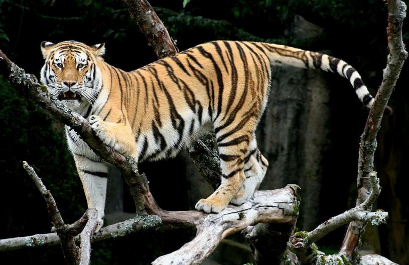 Tigre siberiano no recinto do parque animal Port Lympne