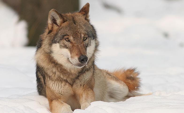 V Lužických horách se pohybují vlci