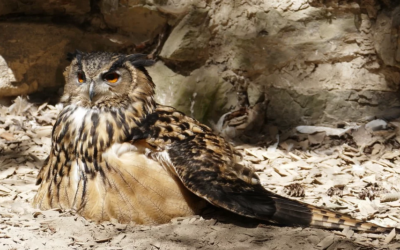 Eagle Owl - webcam from the nest in Germany