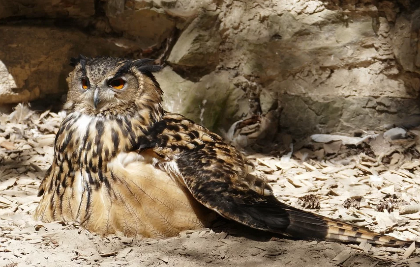 Eagle Owl - webcam dal nido in Germania