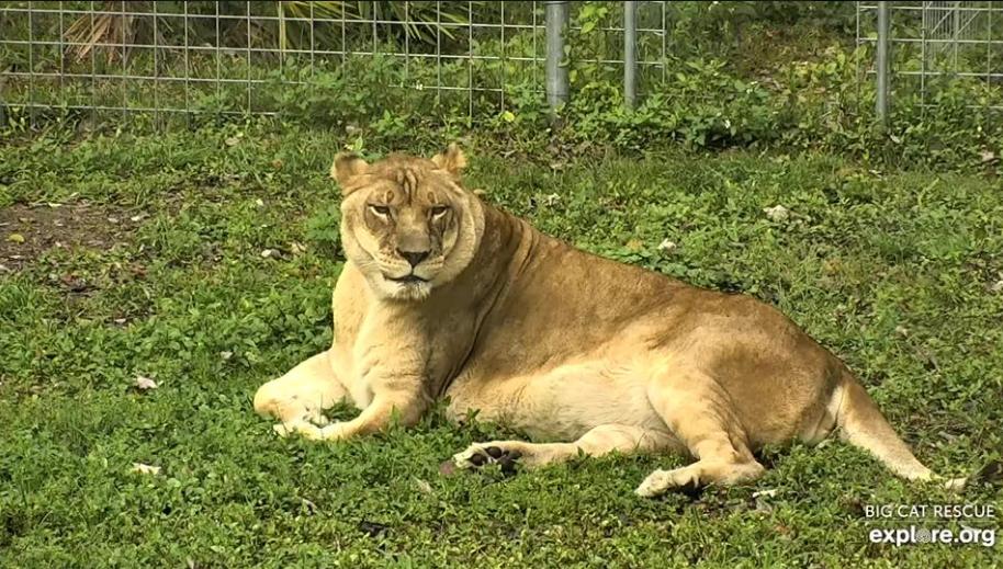La leonessa Nikita ha festeggiato il suo 19 ° compleanno