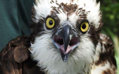 V Polsku ornitologové staví hnízdní podložky pro orlovce říční